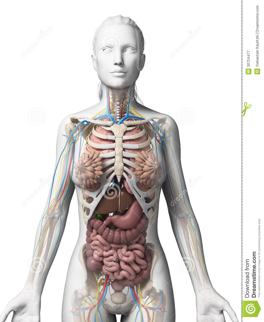lungs human anatomy diagram nissan frontier timing chain female royalty free stock photography - image: 30724477
