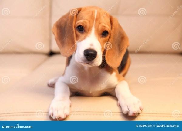 Female Beagle Puppies