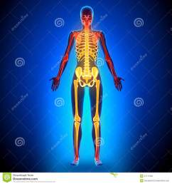 female full skeleton anatomy bones [ 1300 x 1390 Pixel ]