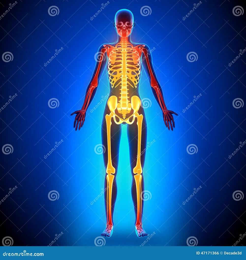 medium resolution of female full skeleton anatomy bones