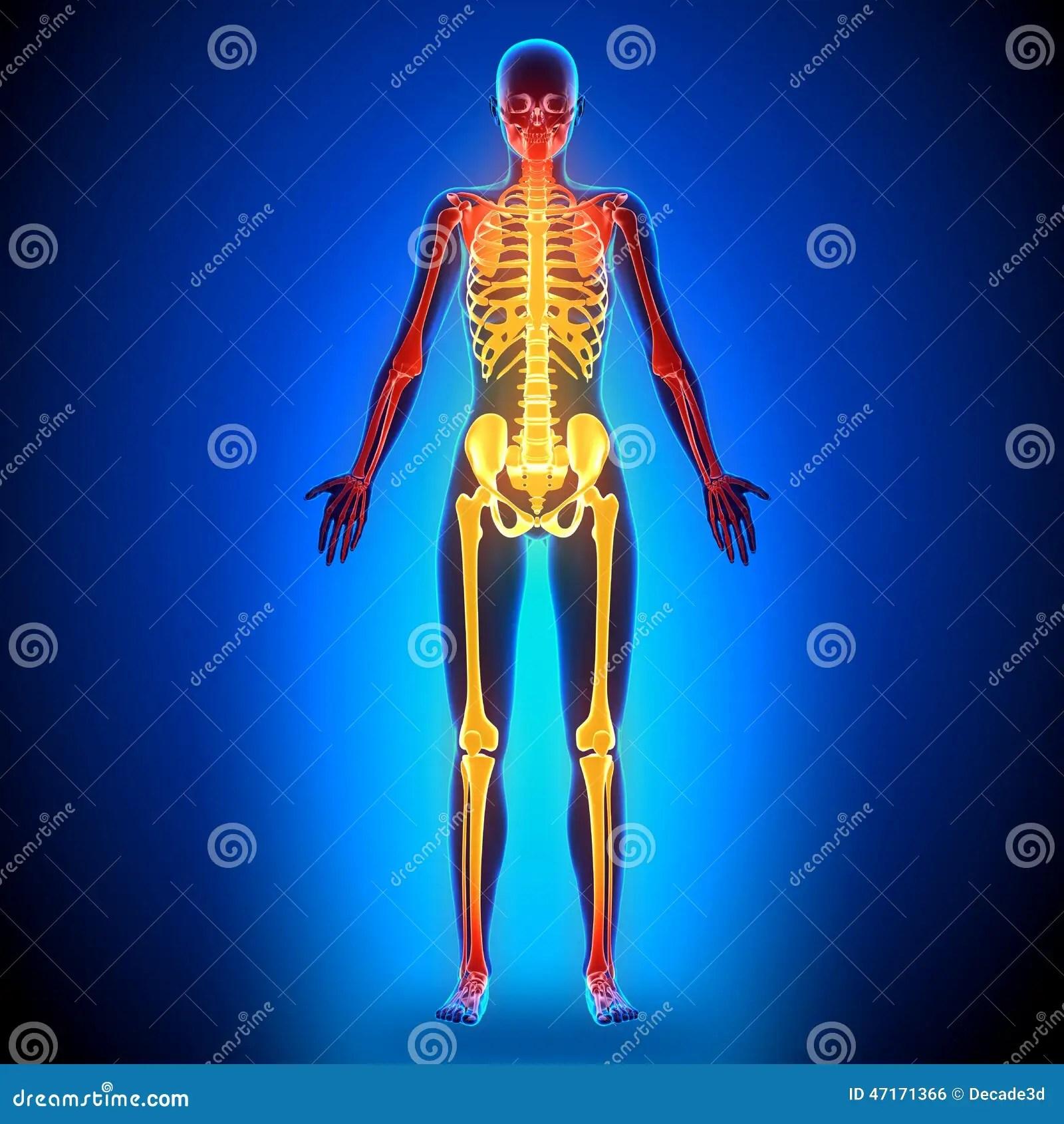 hight resolution of female full skeleton anatomy bones