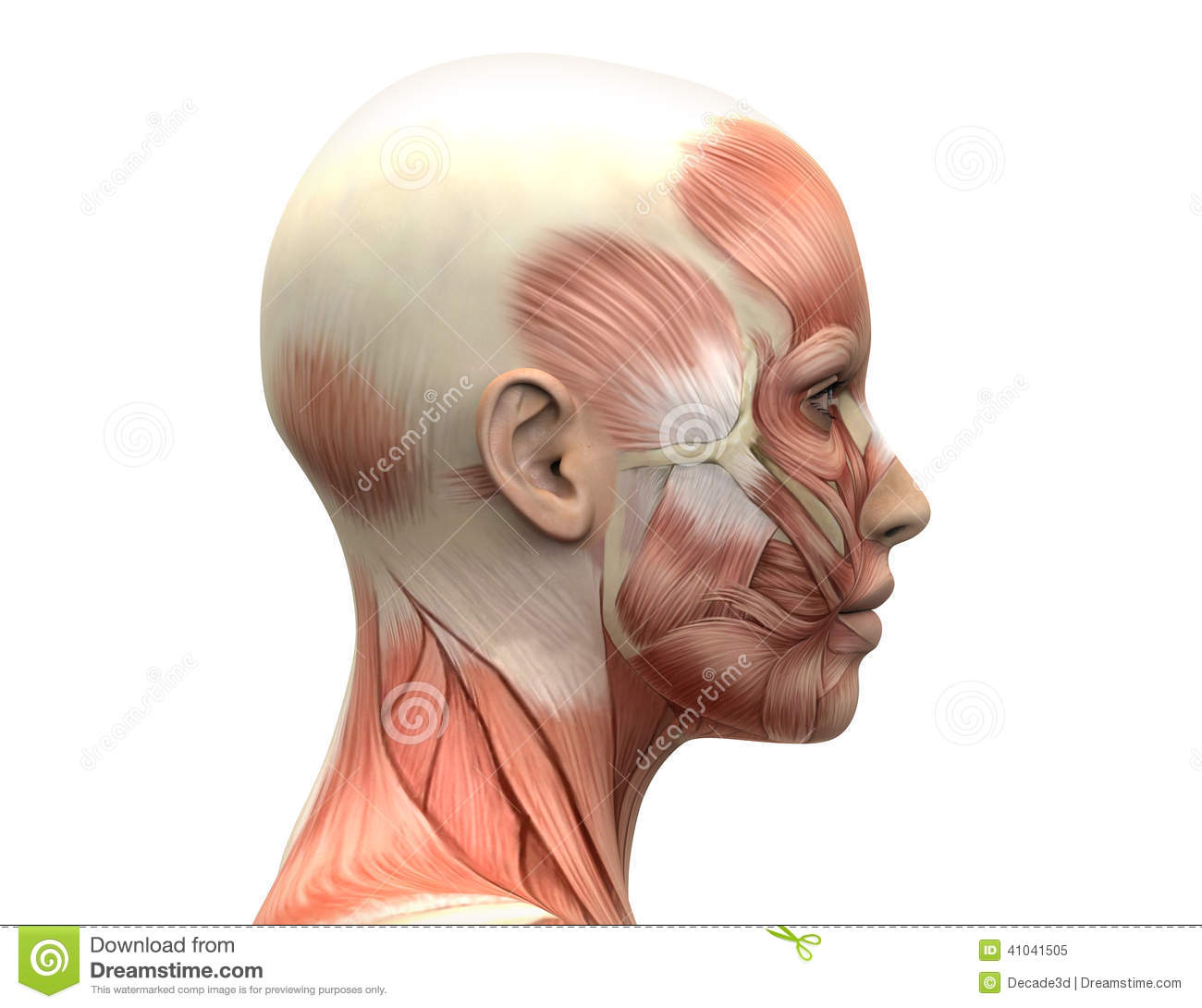 hight resolution of female head muscles anatomy side view