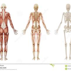 Human Skeleton And Muscles Diagram 2004 Jeep Grand Cherokee Starter Wiring Female Stock Illustration 3d Rendering Of An Anatomy