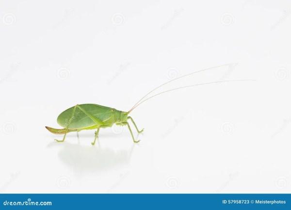 Female Katydid With Ovipositor Stock Image Image of