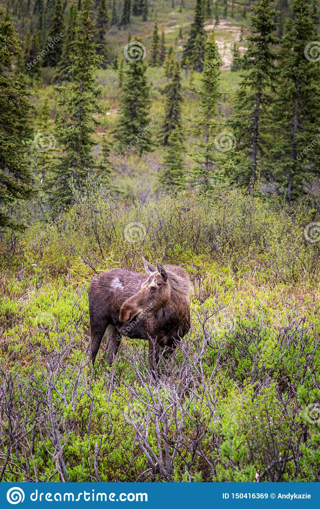 Female Moose stock image. Image of seasons. game. female - 150416369