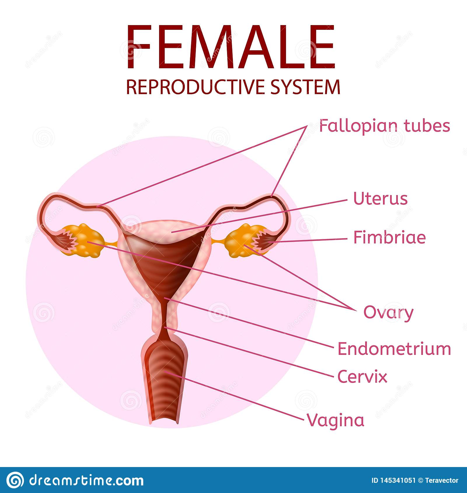 hight resolution of female reproductive system human anatomy uterus and ovaries scheme with all main parts labeled anterior view inside of pink circle on white background