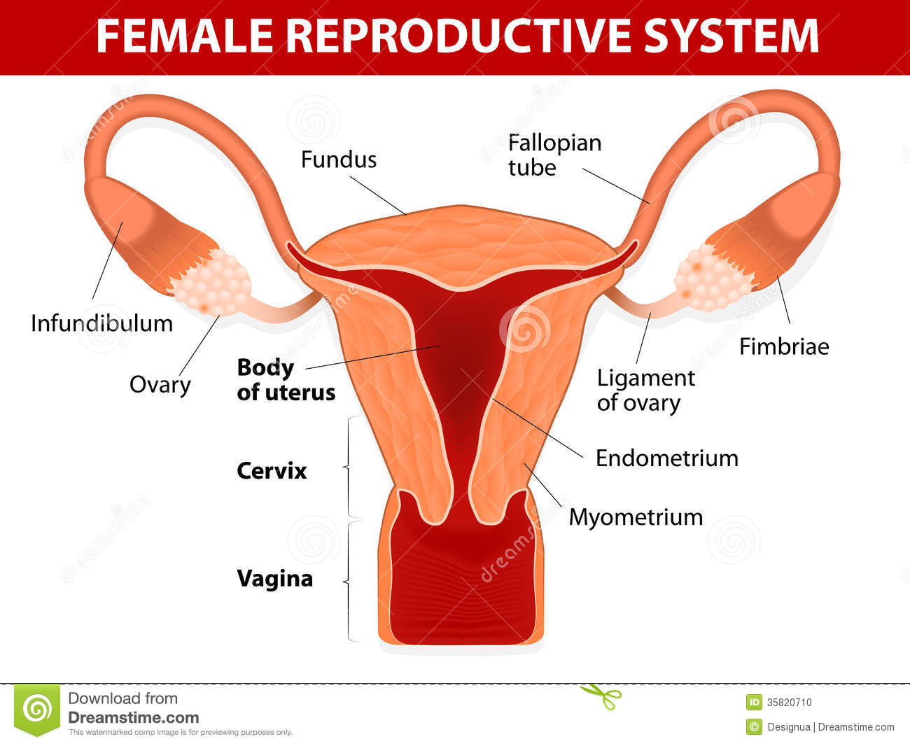 hight resolution of ovary reproductive system diagram labeled