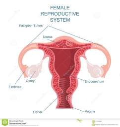 female reproductive system vector illustration [ 1300 x 1390 Pixel ]