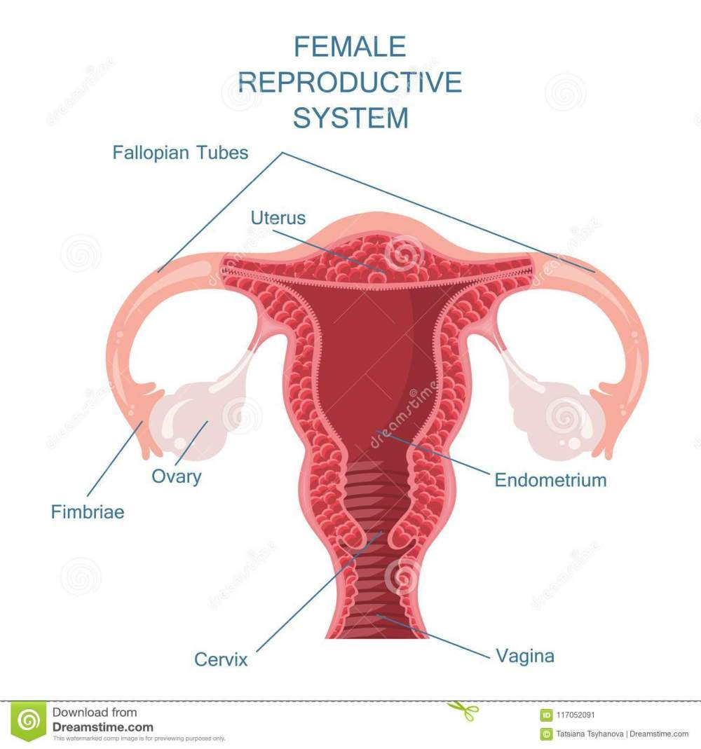 medium resolution of female reproductive system vector illustration