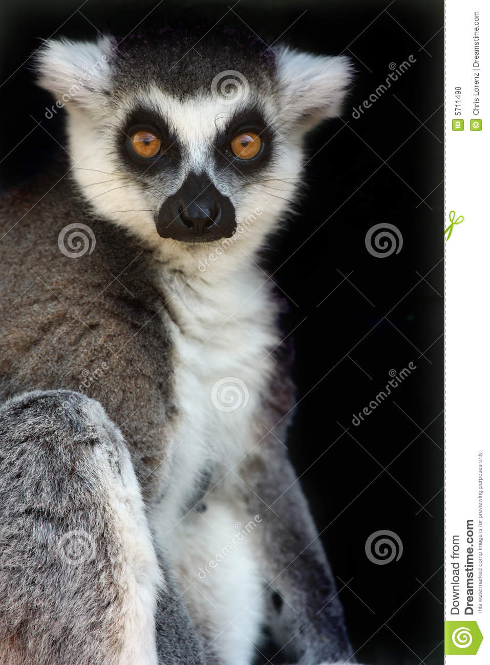 Female Ringtailed Lemur Royalty Free Stock Photos  Image