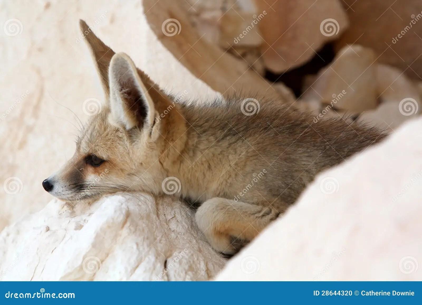 A Fennec Fox Stock Photo Image Of Relax Habitat Rest
