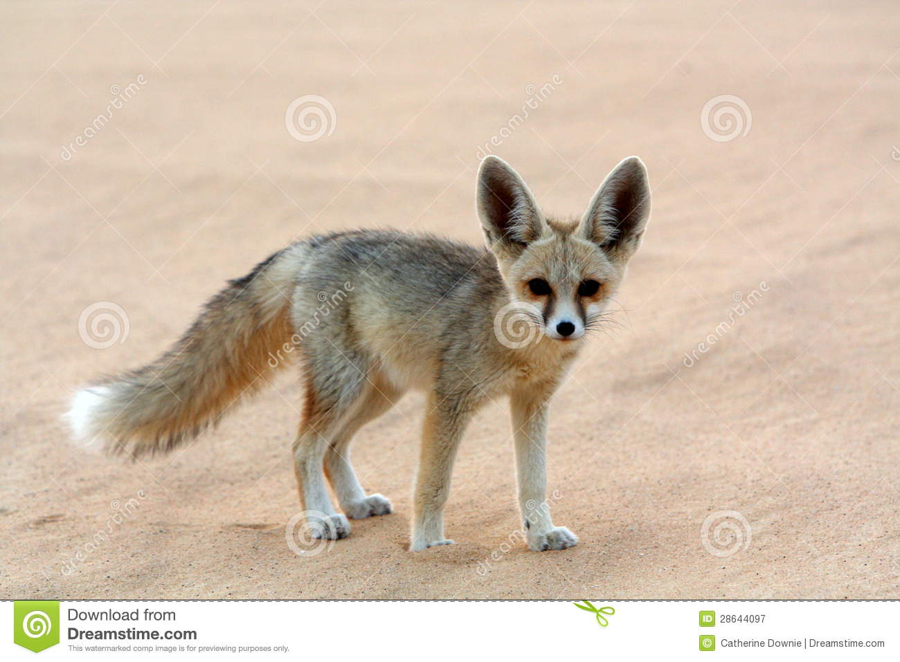 A Fennec Fox In The White Desert Stock Image