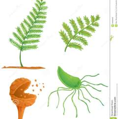 Life Cycle Of Moss Plant Diagram 2002 Chevy Venture Radio Wiring Fern Stock Illustration Image Sperm