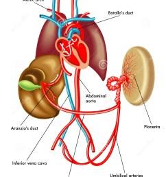 medical illustration of anatomy of the fetal circulation [ 1065 x 1300 Pixel ]
