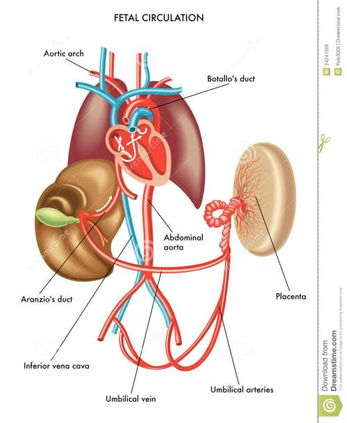 small resolution of medical illustration of anatomy of the fetal circulation