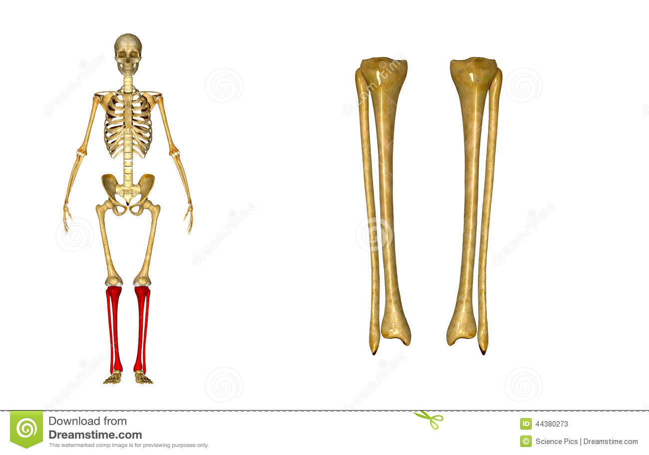 hight resolution of fibula and tibia