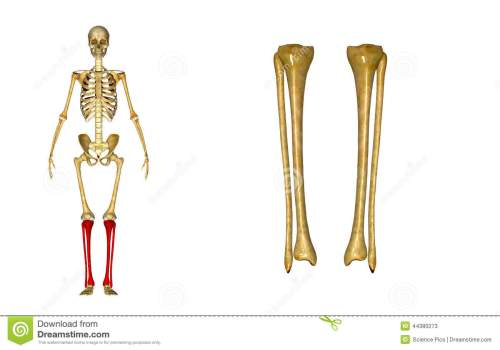 small resolution of fibula and tibia