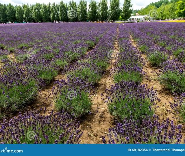 Download Fields Of Flowers Hokkaido Japan July 2015 Stock Photo Image Of Hokkaido