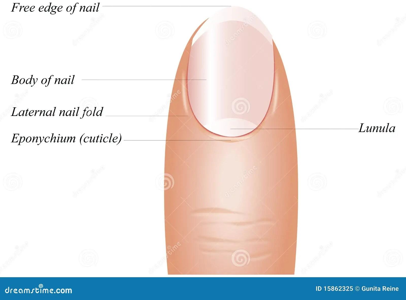 Finger Nail Anatomy Stock Vector Illustration Of