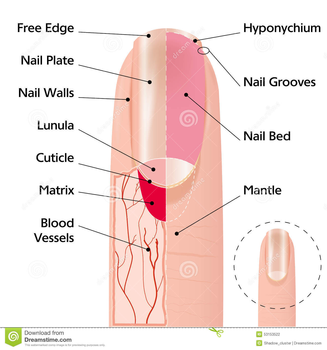 diagram of human nail lead tin phase finger structure stock vector illustration design