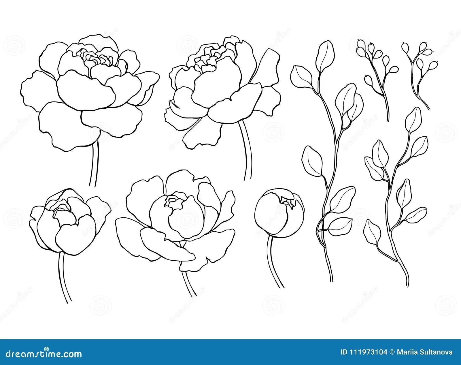 Fiore Della Peonia E Disegno A Tratteggio Delle Foglie
