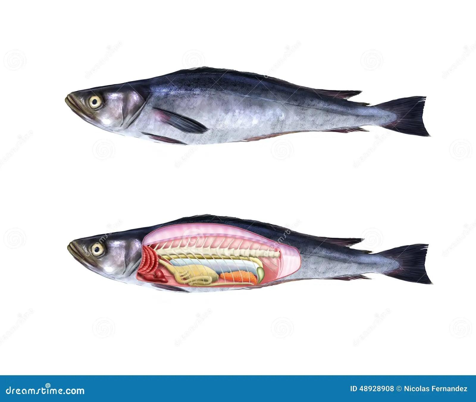 Fish Anatomy Stock Illustration Illustration Of Medicine