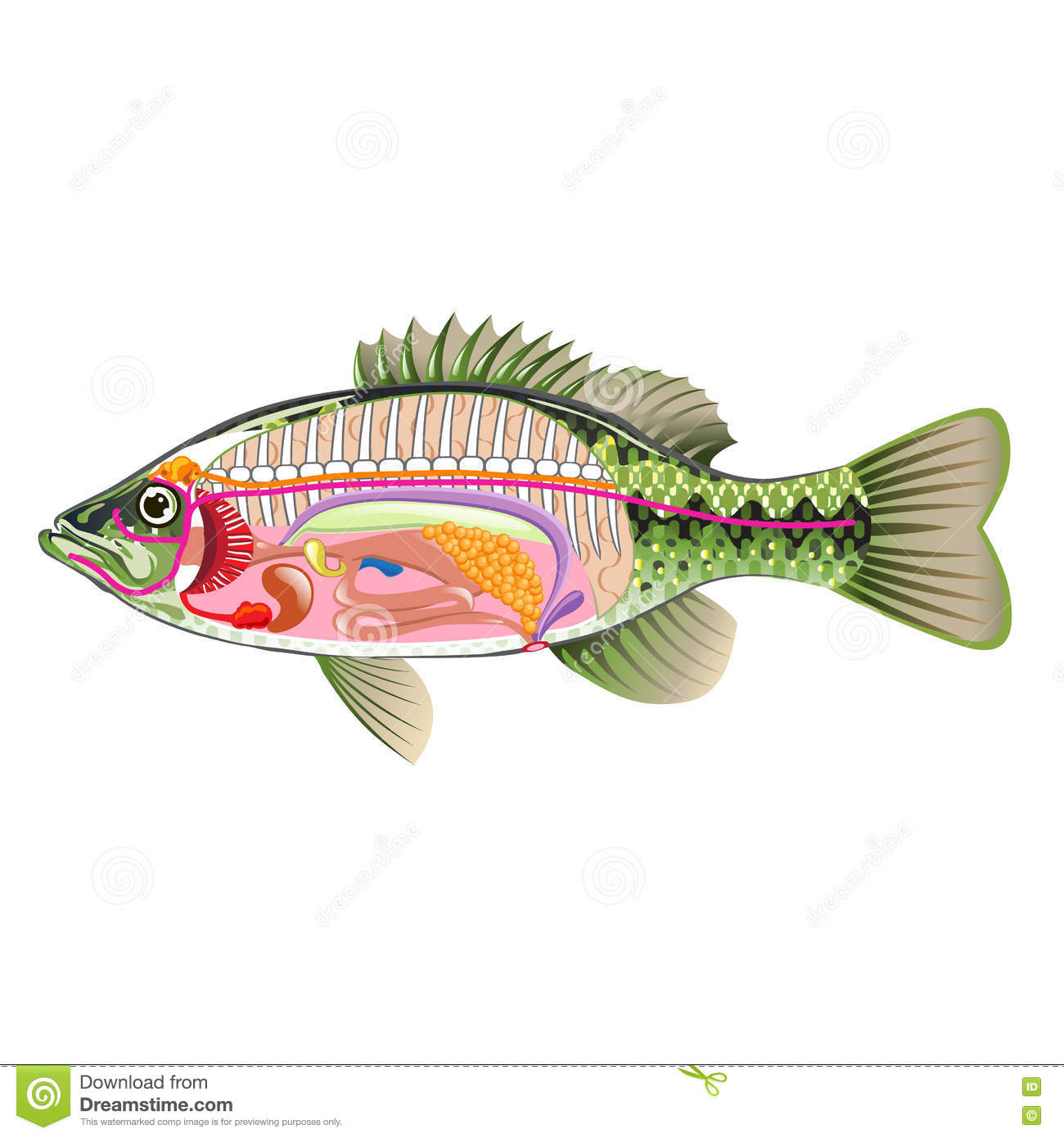 hight resolution of fish internal organs vector art diagram anatomy without labels