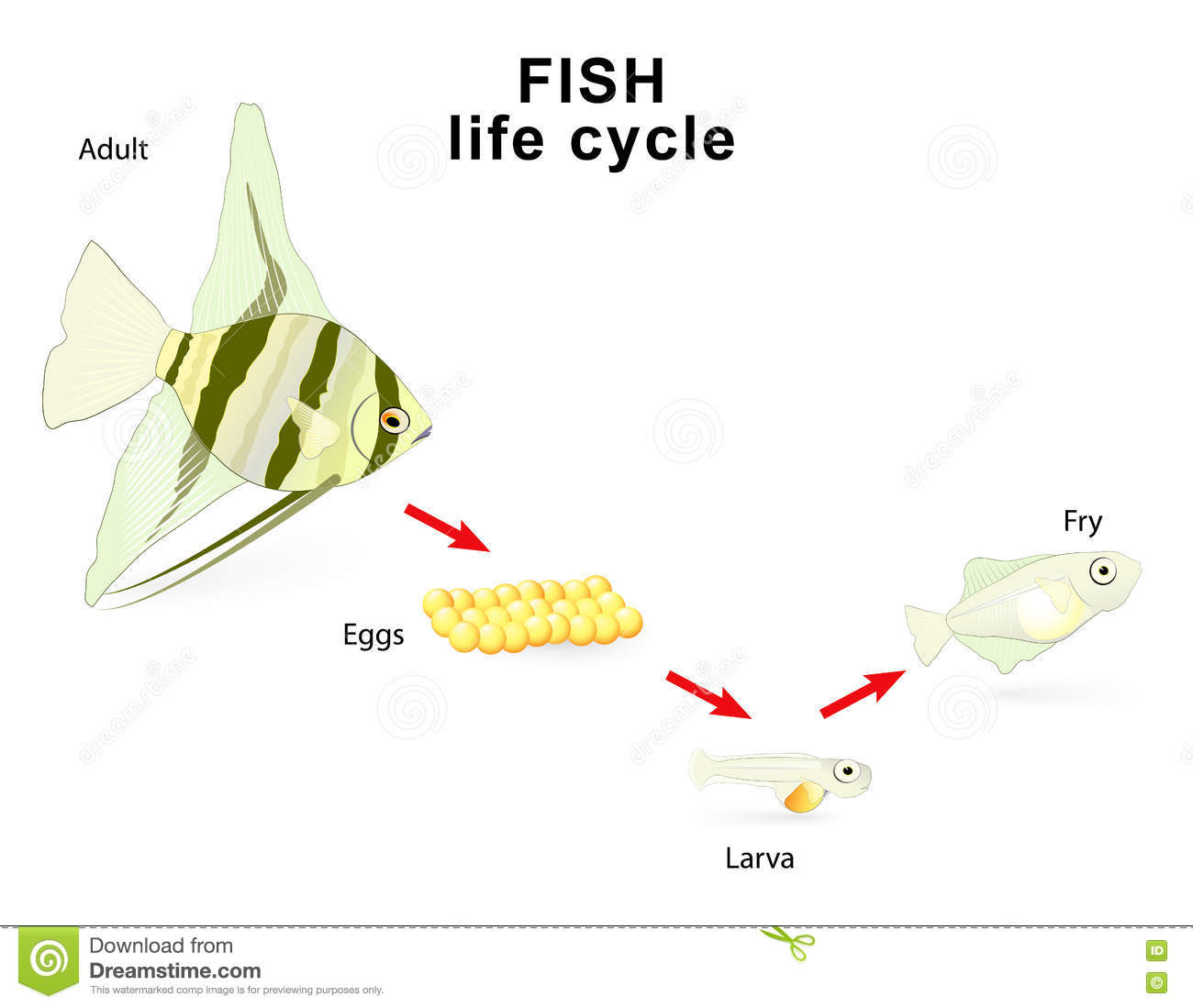 Fish Life Cycle Stock Vector Illustration Of Freshwater