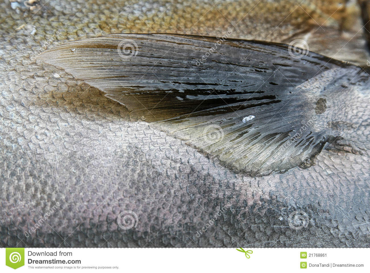 Fish scales and fin stock image Image of nutrition color