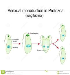 fission or asexual reproduction in euglena [ 1300 x 1390 Pixel ]