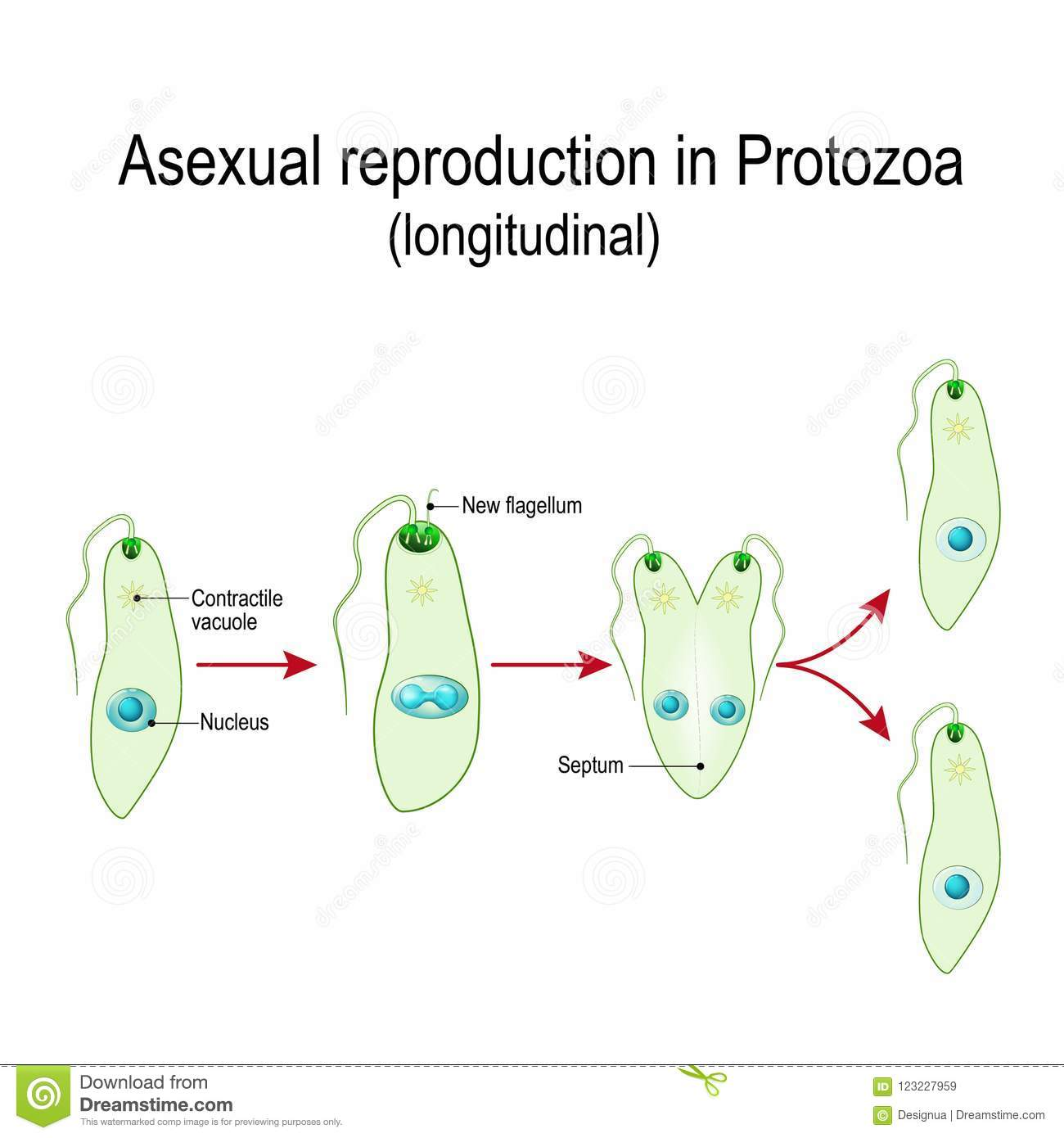 hight resolution of fission or asexual reproduction in euglena