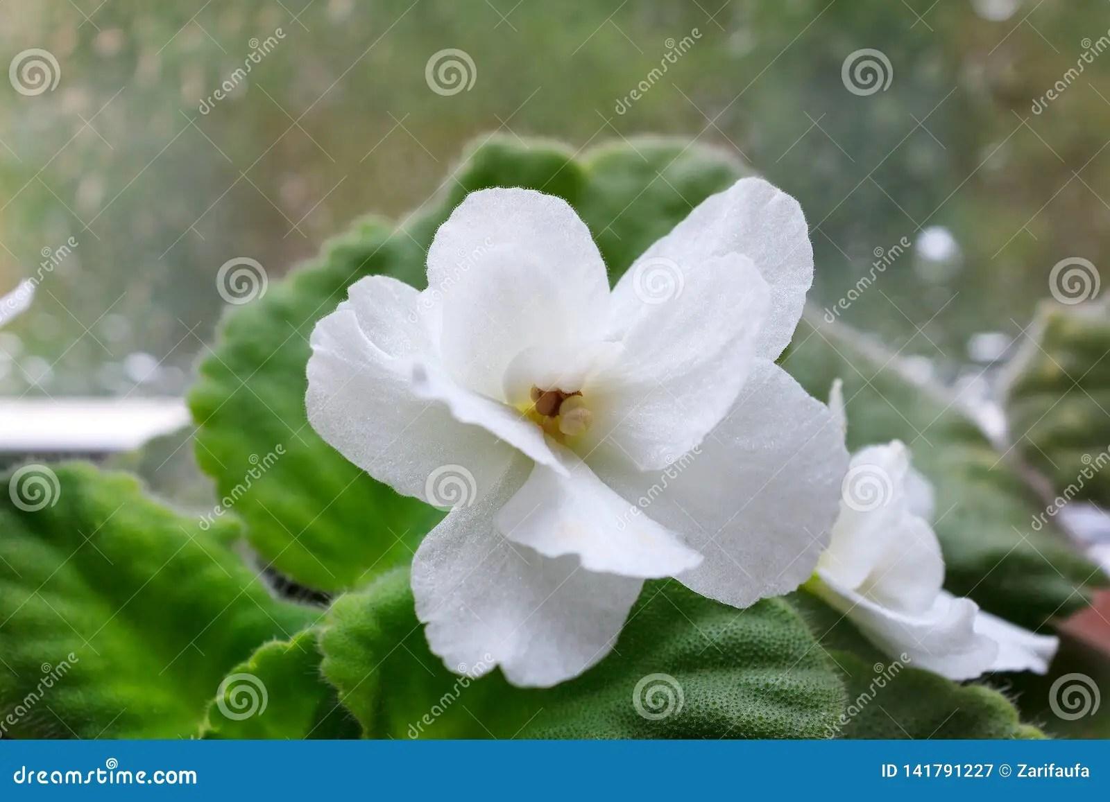 fleur blanche de saintpaulia de plante