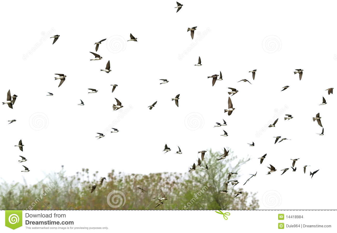 Flock Of Birds Swallows Isolated On A White Stock Photo