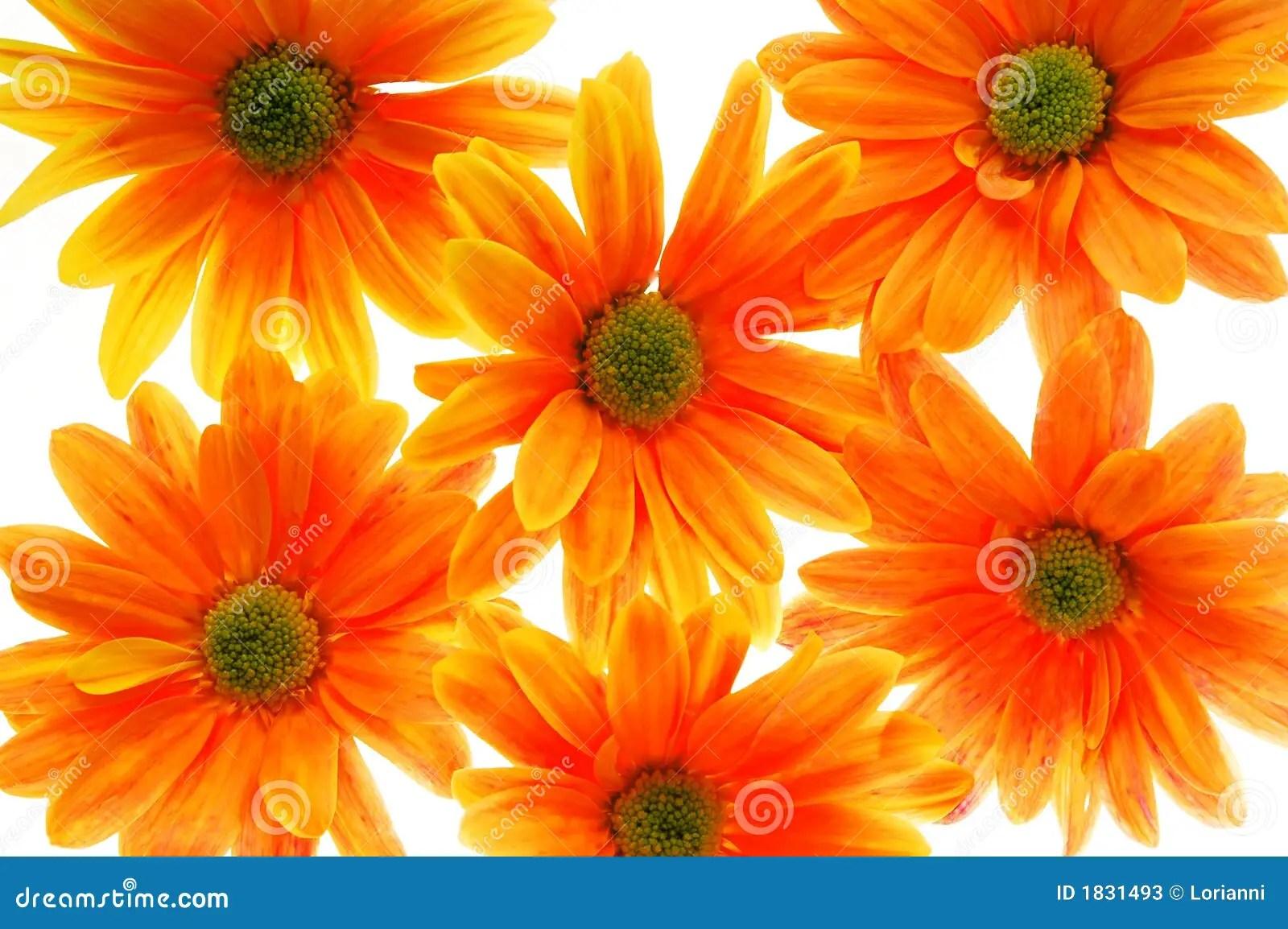 Flores anaranjadas imagen de archivo Imagen de gardening