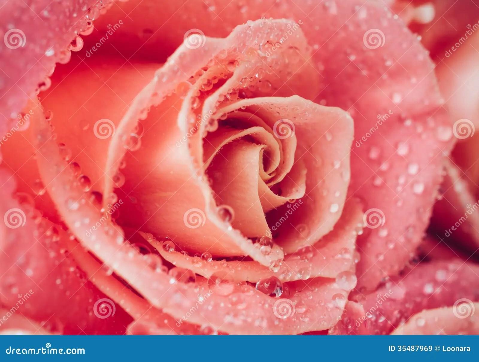 Flower Of Fresh Wet Rose Royalty Free Stock Images Image