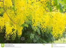 Flower Of Golden Shower Tree Stock - 53060848