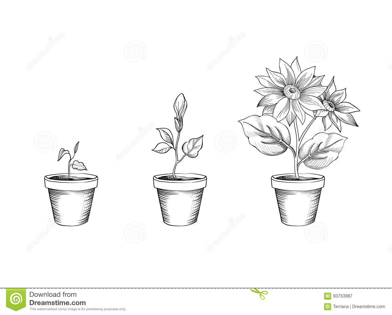 Rose Flower Life Cycle Diagram Flower Growth Set Floral Pot Plant Bloom Stages Stock