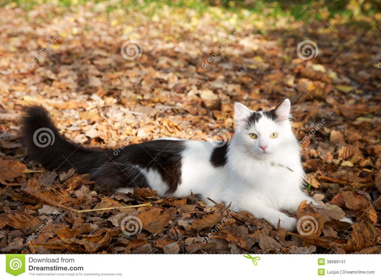 Fluffy Black And White Cat On Leaves Stock Image Image
