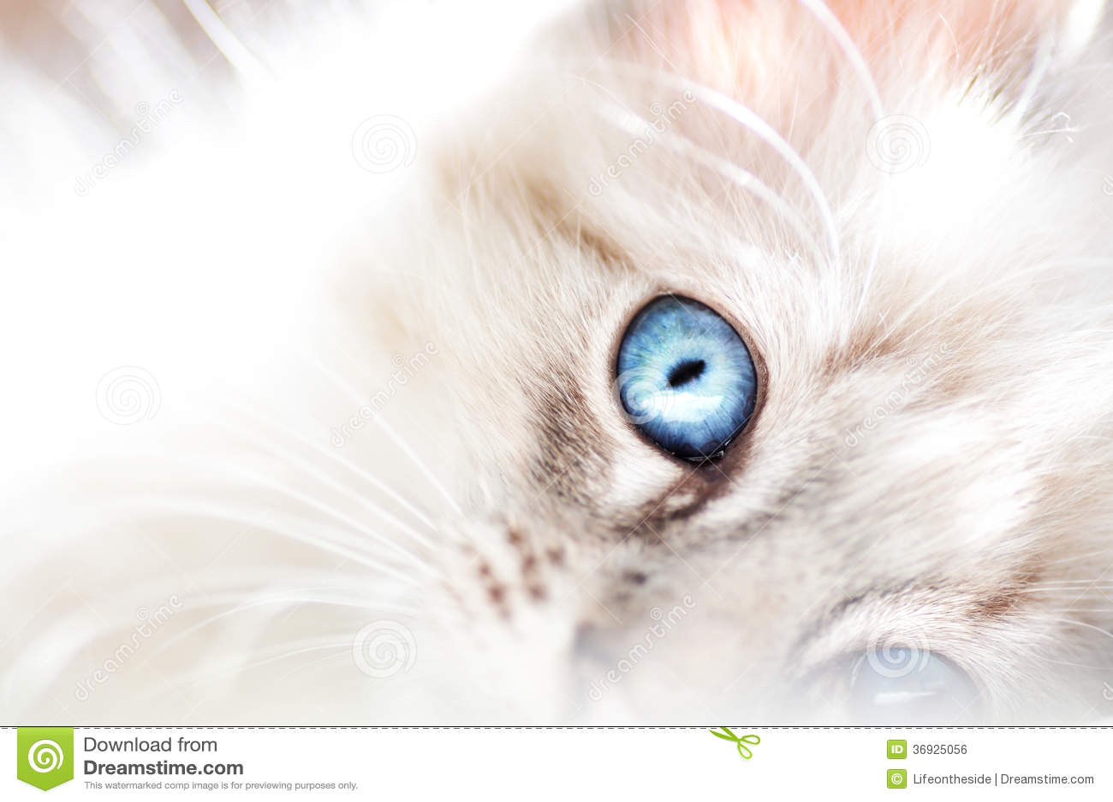 Cute Siamese Kittens Wallpaper Fluffy White Innocent Baby Blue Eyed Kitten Stock Photo
