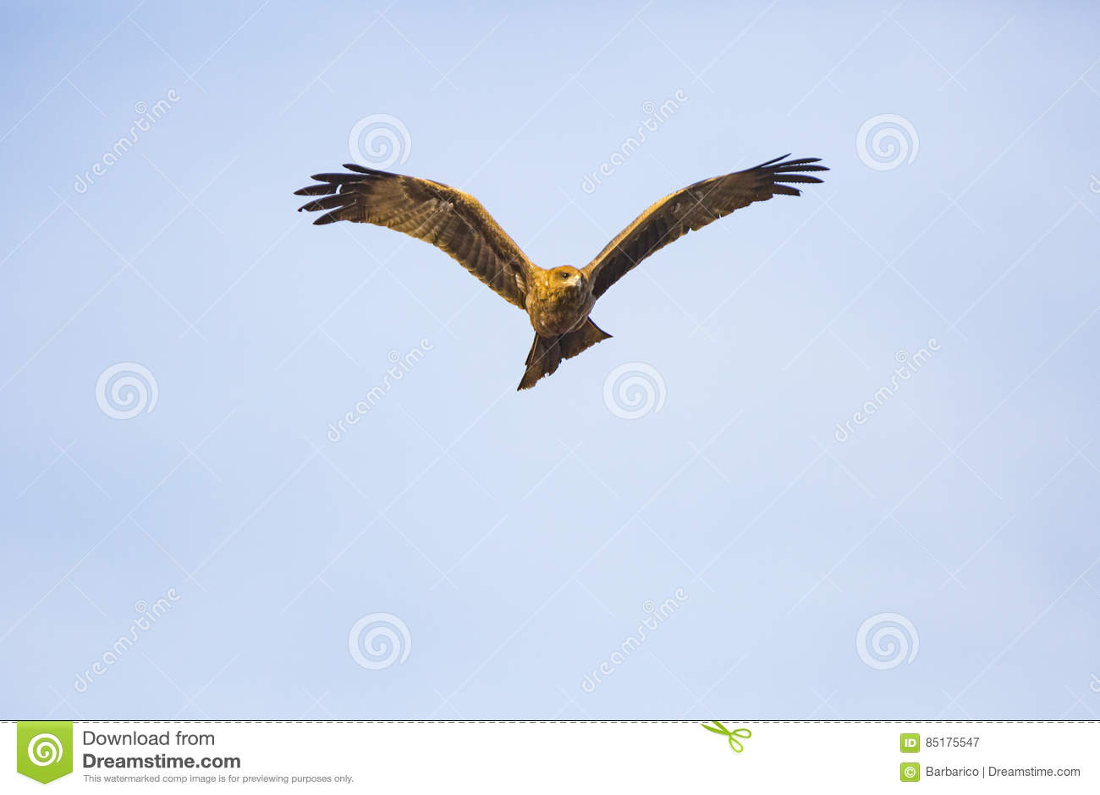 a flying hawk stock