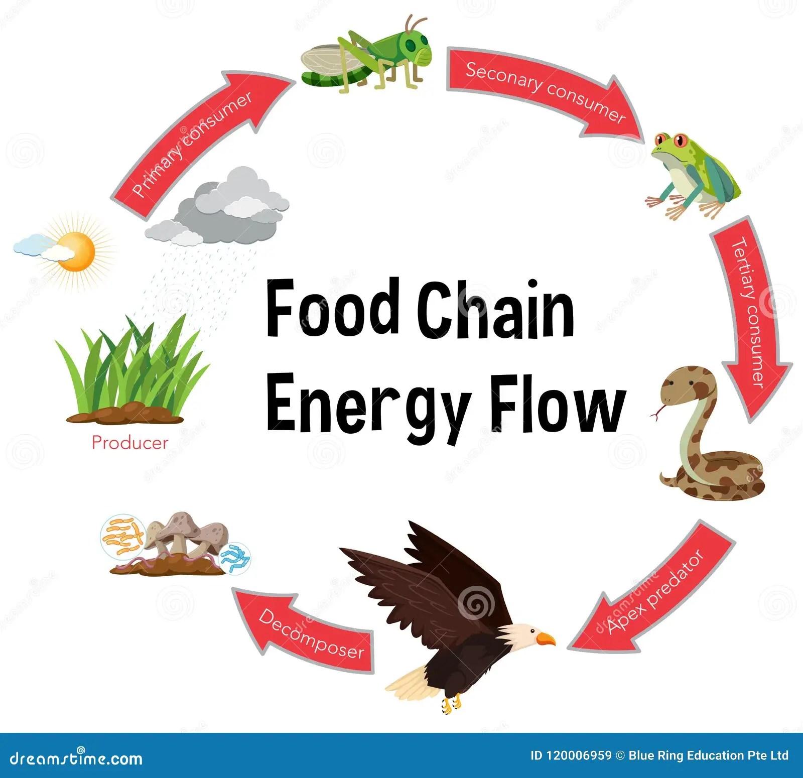 Food Chain Energy Flow Diagram Stock Vector