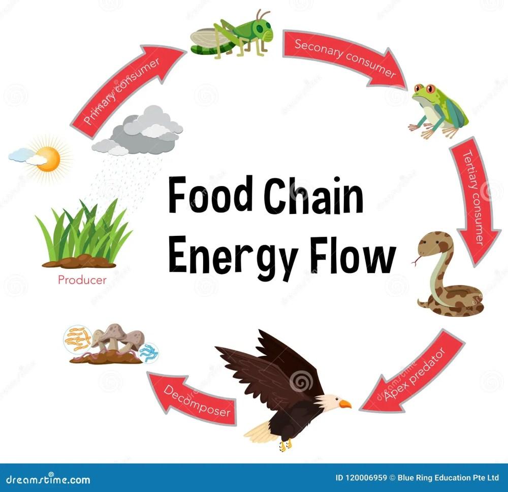 medium resolution of food chain energy flow diagram