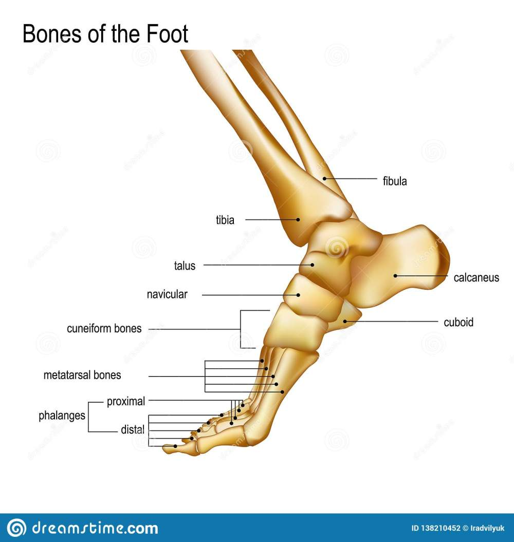 medium resolution of foot with ankle realistic skeleton of human leg with titles of bones anatomy of joints medial aspect view for advertising or medical publications