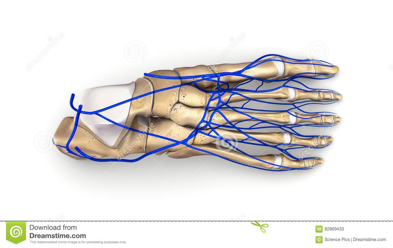 veins in the foot diagram meyers e47 pump wiring bones with top view stock image of ankle