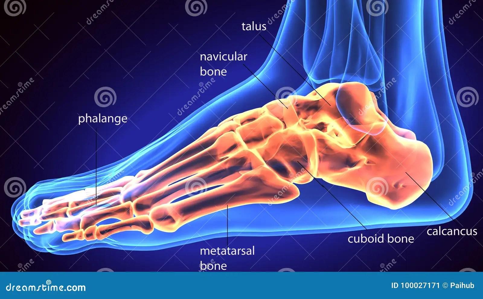 hight resolution of 3d rendering medical illustration of the feet bone