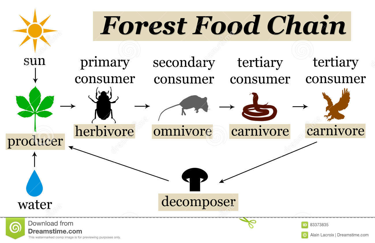 tropical rainforest food web diagram 12v illuminated switch wiring forest chain stock illustration of