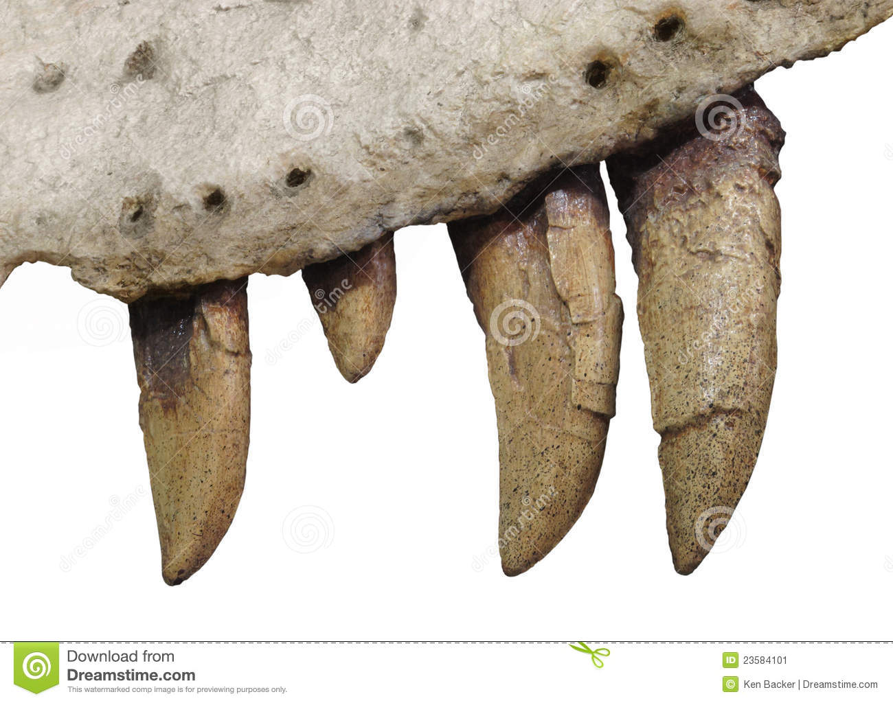 Fossilized Fossilized Dinosaur Teeth