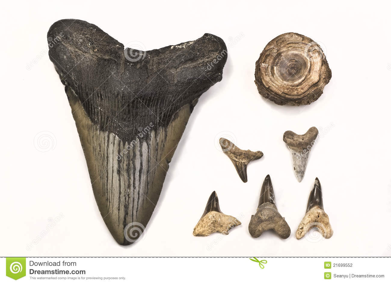 Fossils Of Shark Teeth Stock Photo Image Of Huge Million