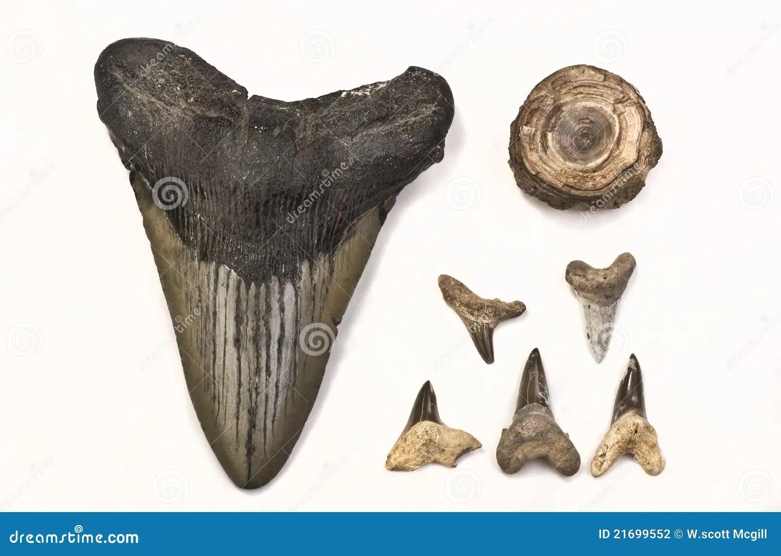 Fossils Of Shark Teeth Stock Photography