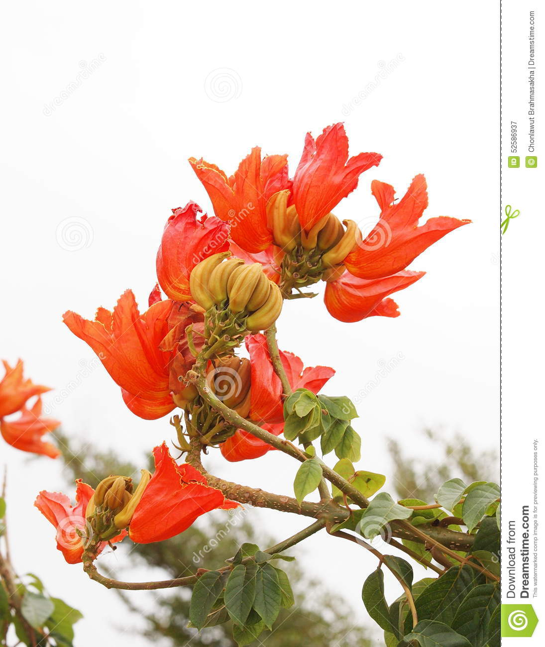 hight resolution of african tulip tree fire bell fouain tree flame of the forest spathodea middle large size plant with orange flame color on unique curve form flowers